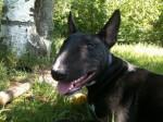 Chien Svinkels 7 mois - Bull terrier  (7 mois)