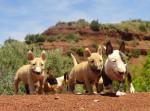 Chien Chiots nés au Terres du Salagou - Bull terrier  (0 mois)