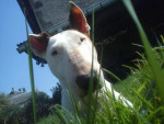 Chien Taina, Bull Terrier 10 ans - Bull terrier  (10 ans)