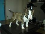 Chien locka - Bull terrier Femelle (3 mois)
