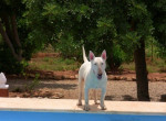 Chien Chantal - Bull terrier Femelle (1 an)