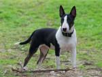 Chien Bull terrier miniature - Bull terrier  (0 mois)