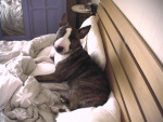 Chien Rocco in bed - Bull terrier  (0 mois)