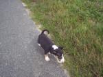 Chien Sortie de l\'élevage - Bull terrier Femelle (0 mois)