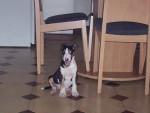 Chien Fatiguée - Bull terrier Femelle (0 mois)