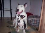Chien Je vous présente mon copain Rocki âgé de 4ans - Bull terrier Femelle (0 mois)