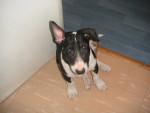 Chien Vika 4 mois - Bull terrier Femelle (4 mois)