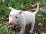 Chien Luna ( cadeau pour ma fille) - Bull terrier Femelle (3 mois)