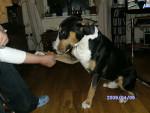 Chien wallace - Bull terrier Mâle (1 an)