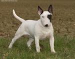Chien Tayson - Bull terrier Mâle (1 an)