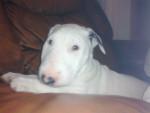 Chien yaga - Bull terrier Femelle (5 mois)