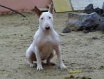 Chien epice - Bull terrier Femelle (3 ans)