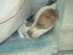 Chien MANDI - Bull terrier Femelle (4 ans)