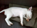 Chien Chumbinba - Bull terrier Femelle (8 mois)