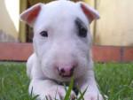 Chien Spot - Bull terrier Mâle (5 mois)