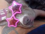 Chien fiona - Bull terrier Femelle (2 ans)