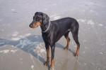 Chien Indra à la mer - Dobermann  (0 mois)