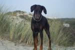 Chien Indra dans les dunes - Dobermann  (0 mois)