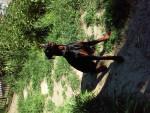 Chien Sirius - Dobermann Mâle (8 mois)