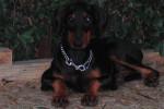 Chien Tina à 6 mois - Dobermann Femelle (6 mois)