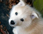 Chien kiara - Samoyede Femelle (4 mois)