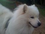 Chien Snowy - Samoyede Femelle (3 ans)
