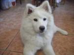 Chien Niebla - Samoyede Femelle (4 mois)