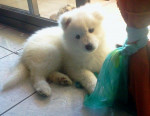 Chien LASKY - Samoyede Femelle (3 mois)