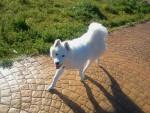 Chien LASKY - Samoyede Femelle (8 mois)