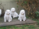 Chien Puppys of Sandy - Samoyede  (3 mois)