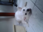 Chien Tina - Samoyede Femelle (11 ans)