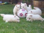 Chien chiots - Samoyede  (0 mois)