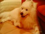Chien Daïruk - Samoyede Femelle (4 ans)