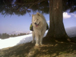 Chien dream - Samoyede Mâle (2 ans)