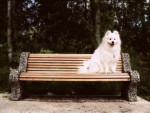 Chien Casper - Samoyede Mâle (0 mois)