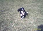 Chien saskia - Sloughi Femelle (3 ans)