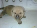 Chien Gordo - Sharpei Femelle (1 mois)