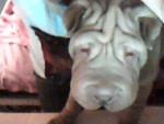 Chien Elvis - Sharpei Mâle (7 mois)