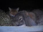Chien alison - Sharpei Femelle (10 mois)
