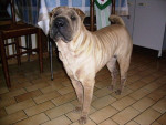 Chien shar pei du the de chine - Sharpei  (0 mois)