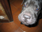 Chien Gaïa - Sharpei Femelle (2 ans)