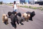 Chien De Prieto´s Dogs - Briard Femelle (11 mois)