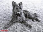 Chien Beau portrait noir et blanc de Kannou - Briard  (0 mois)