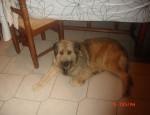 Chien Cassis Briard / berger allemand - Briard Femelle (4 ans)