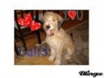 Chien Balto - Briard Femelle (6 mois)