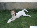 Chien Harry - Fox terrier à poil dur Mâle (2 ans)
