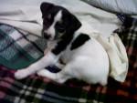 Chien Jessy - Fox terrier à poil dur Femelle (2 mois)