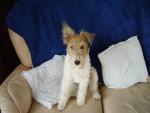 Chien Billy - Fox terrier à poil dur Mâle (6 ans)