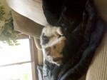 Chien Phoebe - Fox terrier à poil dur Femelle (1 an)