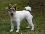 Chien Eva - Fox terrier à poil dur Femelle (4 ans)